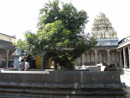 mango tree at ekambareswara temple